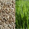 Organic Whole Raw Rye Grain Seeds for Sprouting and Juicing